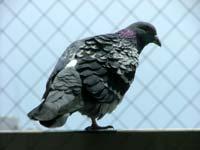 写真:ベランダの手すりに止まる鳩