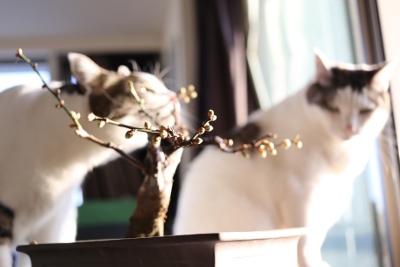 20160129ume_cat2.jpg